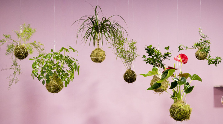 Kokedamy – létající rostliny?